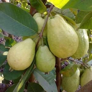 கொய்யாப்பழம்