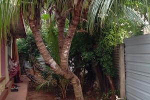 யாழ்ப்பாணத்தில் மூன்று கிளைகளுடன் தென்னை மரம்